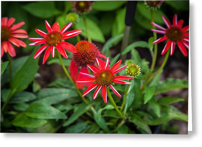 Abstracted Coneflowers Greeting Cards - Coneflowers Echinacea Red  Greeting Card by Rich Franco