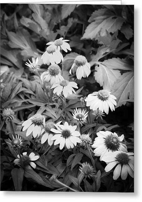 Abstracted Coneflowers Greeting Cards - ConeFlowers Echinacea Rudbeckia BW Greeting Card by Rich Franco