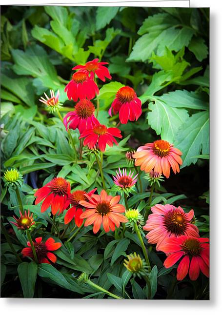 Abstracted Coneflowers Greeting Cards - ConeFlowers Echinacea Rudbeckia Greeting Card by Rich Franco