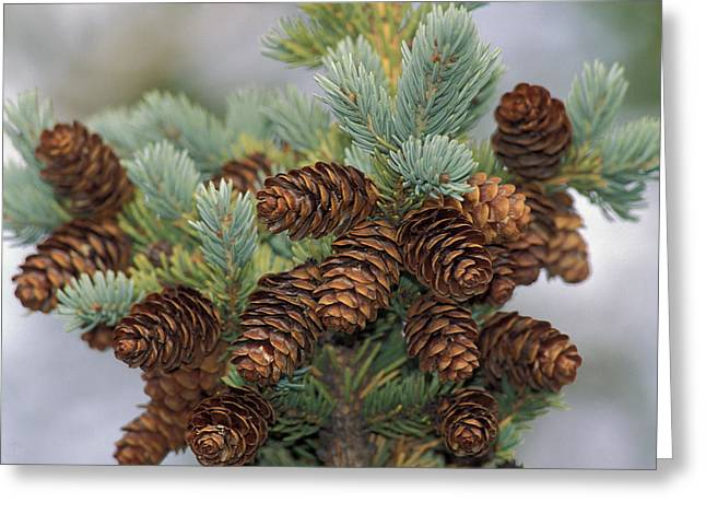 Spruce Cone Greeting Cards - Cones Of The White Spruce Denali Greeting Card by Ron Sanford