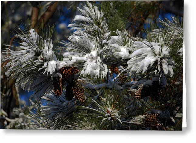 Pine Needles Greeting Cards - Cones Greeting Card by Skip Willits
