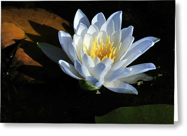 Recently Sold -  - Water Lilly Greeting Cards - Confession Greeting Card by Trish McCormick