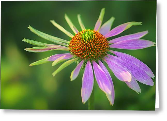 Imperfect Greeting Cards - Conflicted - Identity Crisis - Coneflower Greeting Card by Nikolyn McDonald