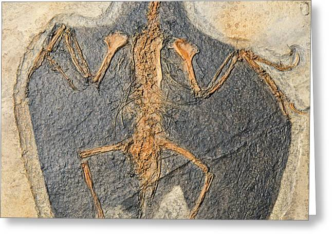 Confuciusornis Fossil Greeting Card by Millard H Sharp