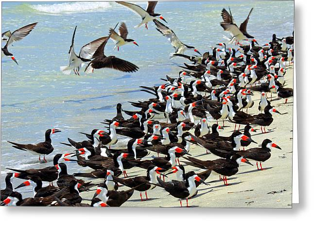 On The Beach Greeting Cards - Congregating Skimmers Greeting Card by Carol Groenen