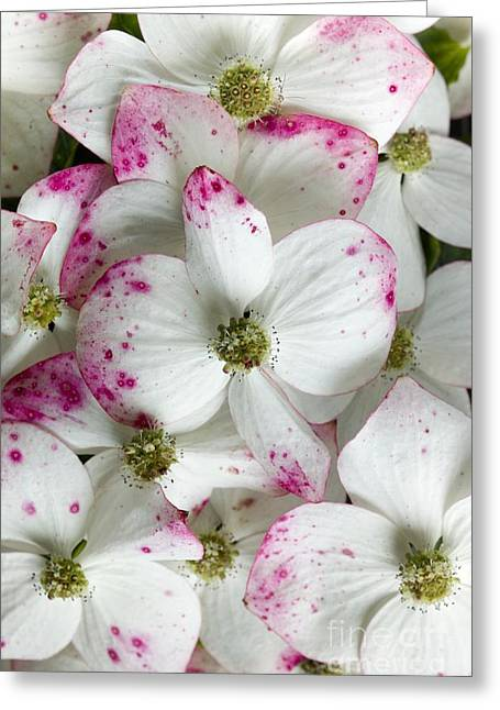 Cornus Greeting Cards - Conrus Kousa Southern Cross In Bloom Greeting Card by Dr Jeremy Burgess