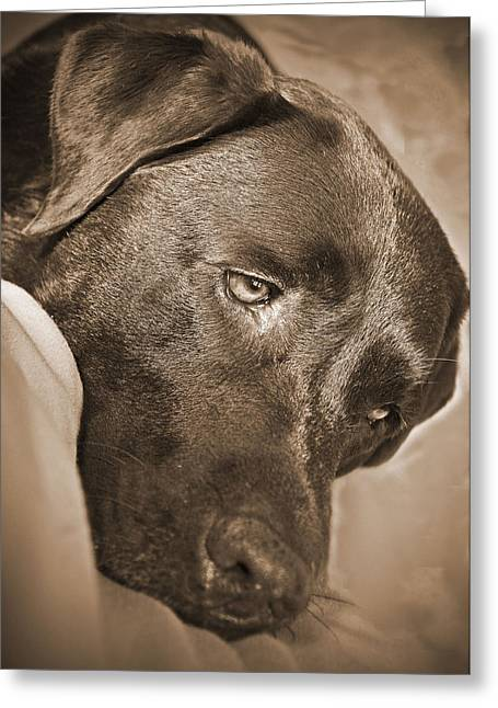 Chocolate Lab Greeting Cards - Contented Greeting Card by MCM Photography