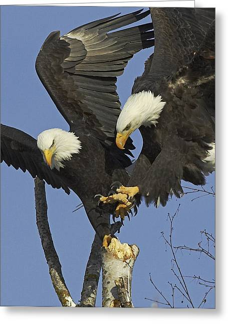 Haliaeetus Leucocephalus Greeting Cards - Contested Perch Greeting Card by Tim Grams
