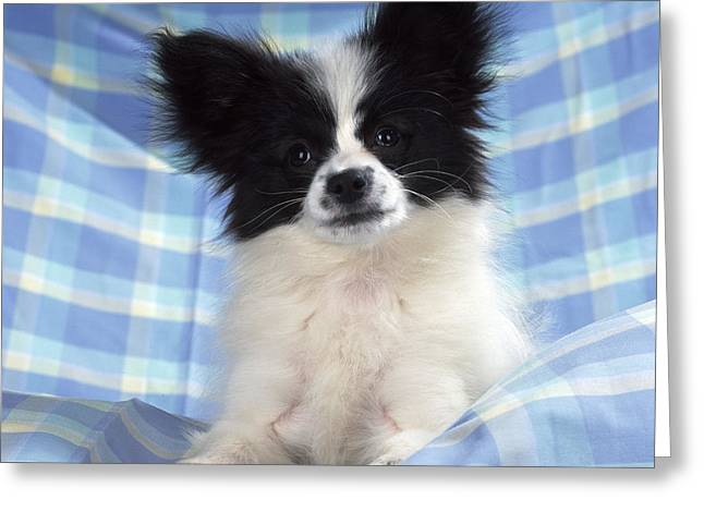 Papillon Dog Greeting Cards - Continetal Toy Spaniel Or Papillon Dog Greeting Card by John Daniels