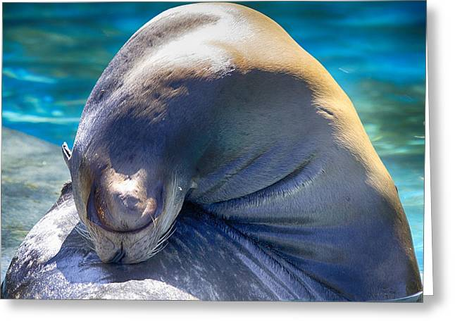 Sea Lions Greeting Cards - Contortionist Greeting Card by Douglas Barnard