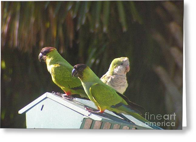 Quaker Parrot Greeting Cards - Conure Parrots and Quaker Parrot Share a Feeder Greeting Card by Sandra Williams