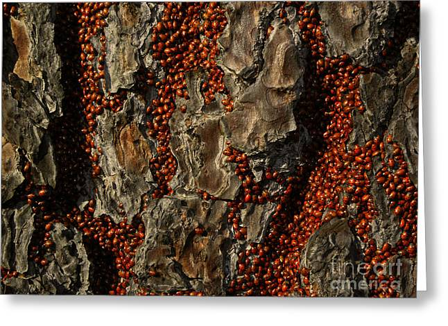 Convergent Lady Beetles Greeting Card by Ron Sanford