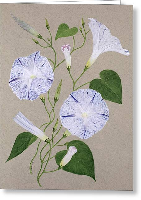 Grey Background Greeting Cards - Convolvulus Cneorum Greeting Card by Frances Buckland