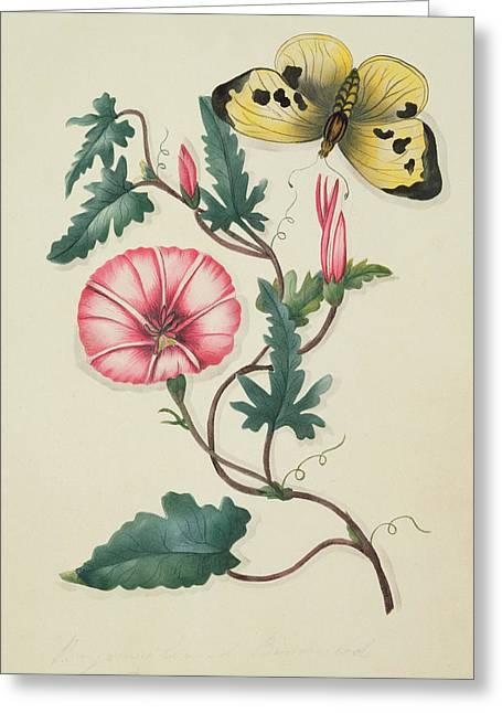 Nineteen Greeting Cards - Convolvulus with Yellow Butterfly Greeting Card by English School