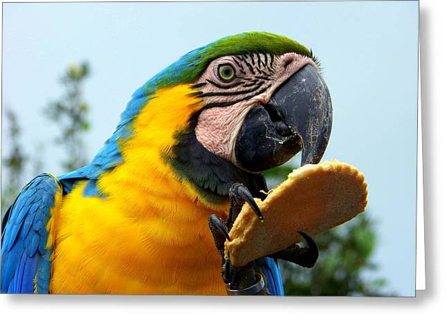 Blue Macaws Greeting Cards - Cookie Delight Greeting Card by Karen Wiles