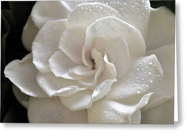Gardenia Greeting Cards - Cool Gardenia Greeting Card by Terence Davis