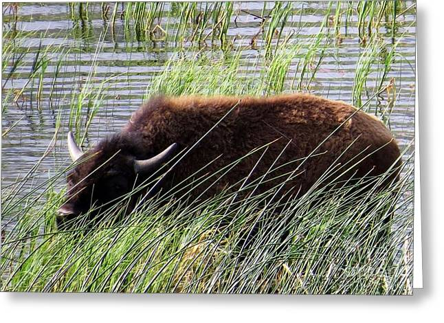 Buffalo Greeting Cards - Cool Place on a Hot day Greeting Card by Harriet Peck Taylor