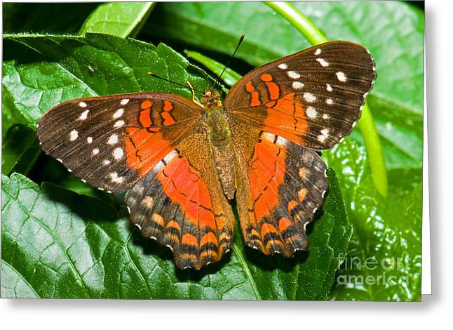 Orange And Brown Wings Greeting Cards - Coolie Butterfly Greeting Card by Millard H. Sharp