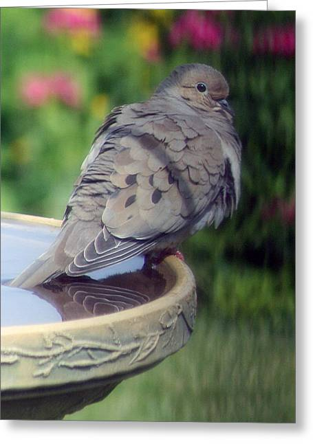 Morning Dove Photograph Greeting Cards - Cooling Ones Tail Feathers Greeting Card by Kay Novy