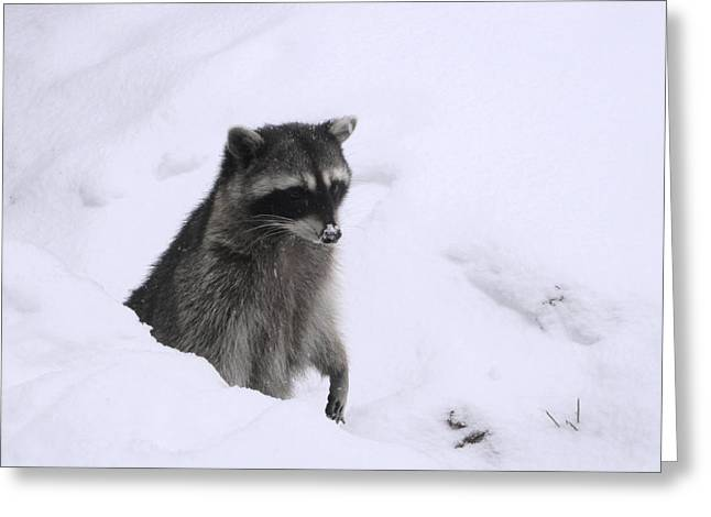 Four Animal Faces Greeting Cards - Coon Needs Snowshoes Greeting Card by Kym Backland