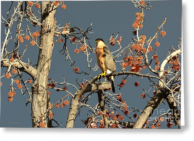 Susan Wiedmann Greeting Cards - Coopers Hawk Catches Sun in Stormy Sky Greeting Card by Susan Wiedmann