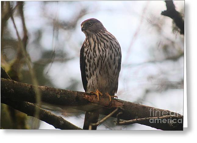 Cooper's  Hawk Dines Here Greeting Card by Kym Backland