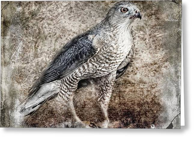 Coopers Hawk Greeting Card by Melissa Bittinger