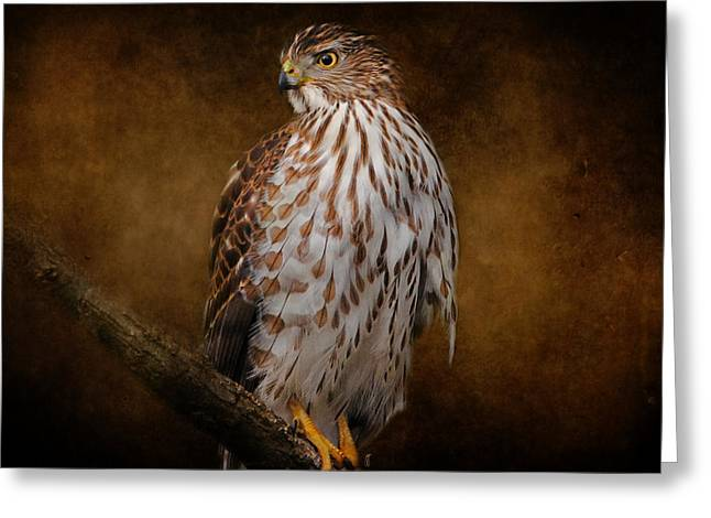 Coopers Hawk Portrait 1 Greeting Card by Jai Johnson