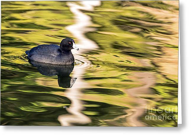 Kate Brown Greeting Cards - Coot Reflected Greeting Card by Kate Brown