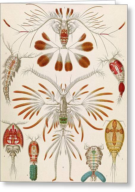 Copepod Crustaceans Greeting Card by Library Of Congress
