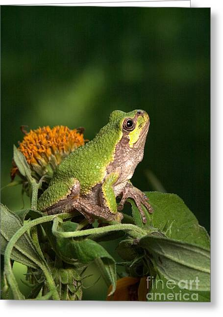 Hylas Greeting Cards - Copes Gray Treefrog Greeting Card by Kenneth M Highfill