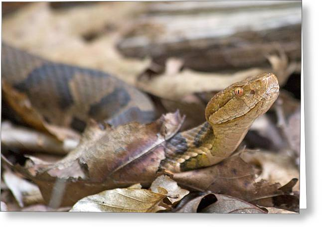 Copperhead In The Wild Greeting Card by Betsy Knapp