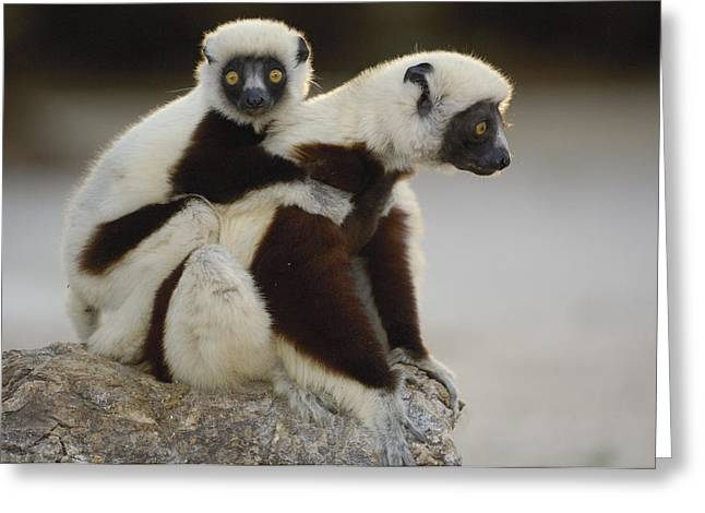 Strict Greeting Cards - Coquerels Sifaka And Baby  Madagascar Greeting Card by Pete Oxford