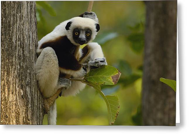 Strict Greeting Cards - Coquerels Sifaka Madagascar Greeting Card by Pete Oxford