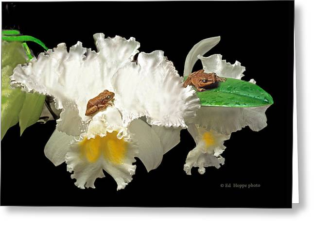 Coqui Greeting Cards - Coqui frogs on tropical orchid in Puerto Rico Greeting Card by Ed Hoppe