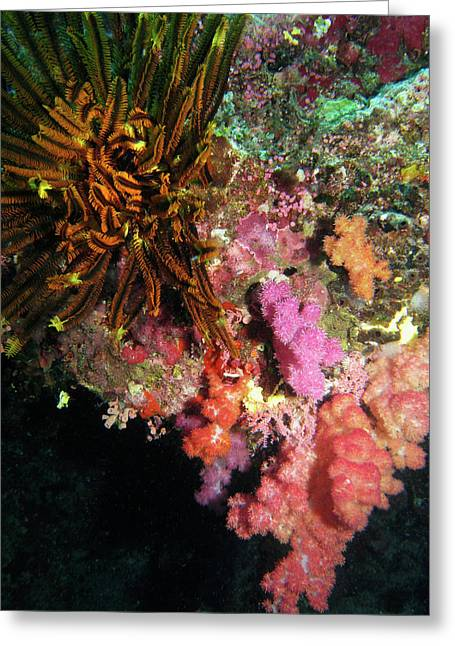 Coral, Agincourt Reef, Great Barrier Greeting Card by David Wall
