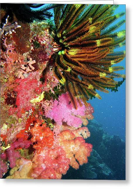 Coral Agincourt Reef Great Barrier Reef Greeting Card by David Wall