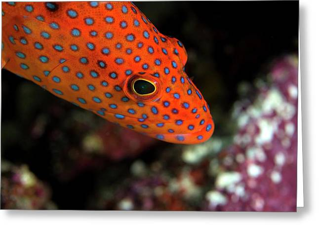 Coral Grouper Greeting Card by Louise Murray