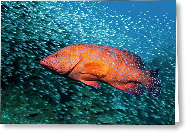 Coral Hind And Pygmy Sweepers Over A Reef Greeting Card by Georgette Douwma