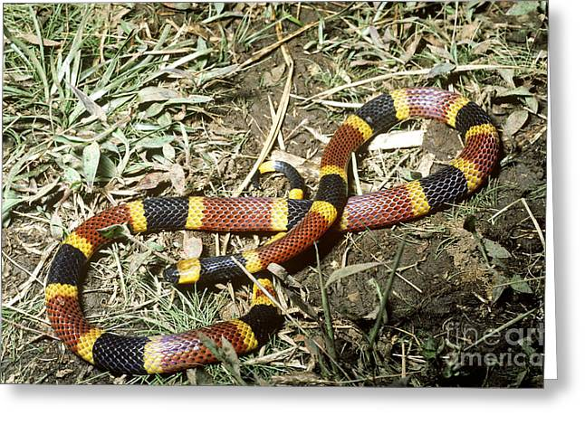 Central American Snake Greeting Cards - Coral Snake Greeting Card by Gregory G. Dimijian, M.D.