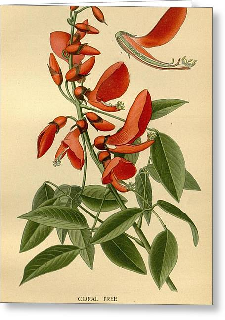 Office Plants Drawings Greeting Cards - Coral Tree Greeting Card by Philip Ralley