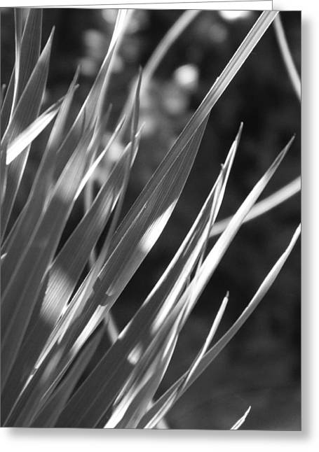 Cordylines Greeting Cards - Cordyline Greeting Card by Leigh Smith