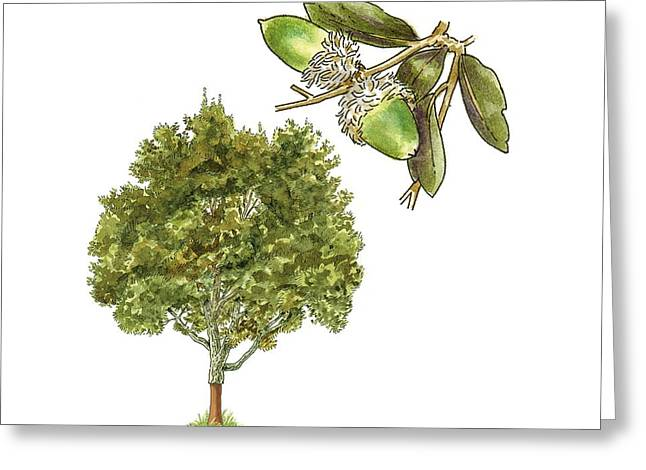 Acorn Greeting Cards - Cork oak (Quercus suber), artwork Greeting Card by Science Photo Library