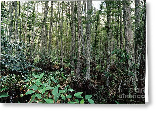 Aquatic Plants Greeting Cards - Corkscrew Swamp Greeting Card by Gregory G. Dimijian