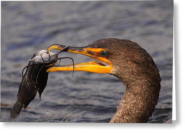 Double-crested Cormorant Greeting Cards - Cormorant Catching Catfish Greeting Card by Bruce J Robinson