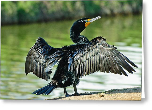 D200 Greeting Cards - Cormorant Drying Wings Greeting Card by  Bob and Nadine Johnston