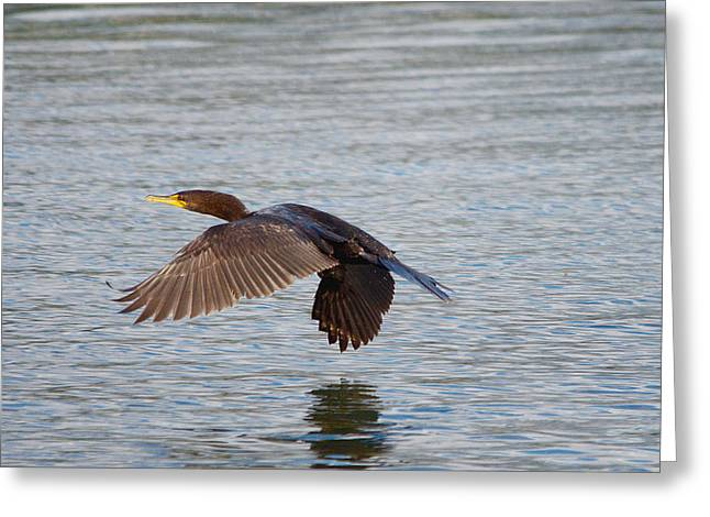Hunting Bird Greeting Cards - Cormorant Flying Low and Fast 1 Greeting Card by Roy Williams