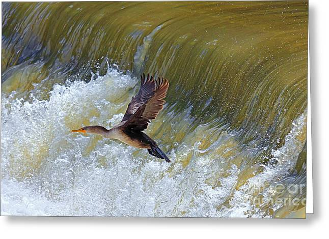 Double-crested Cormorant Greeting Cards - Cormorant Over Waterfall Greeting Card by Charline Xia