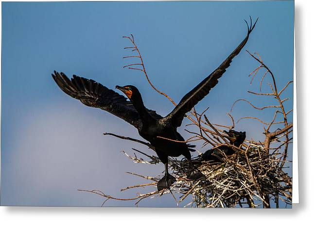 Fisher Greeting Cards - Cormorant Parent Flying Out Greeting Card by Andres Leon