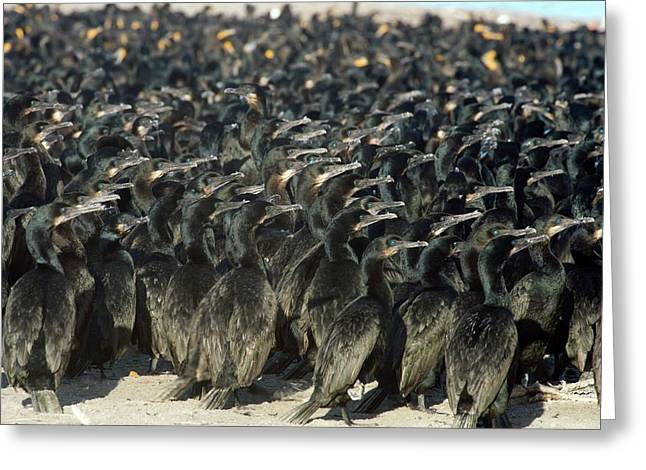 Cormorants Greeting Card by Christopher Swann